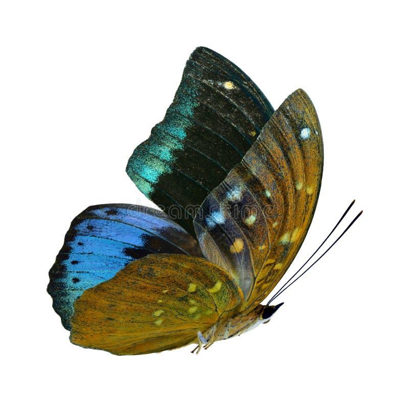 Härliga flygasammetblått och grön fjäril, gemensam ärkehertig som isoleras på vit bakgrund arkivfoton