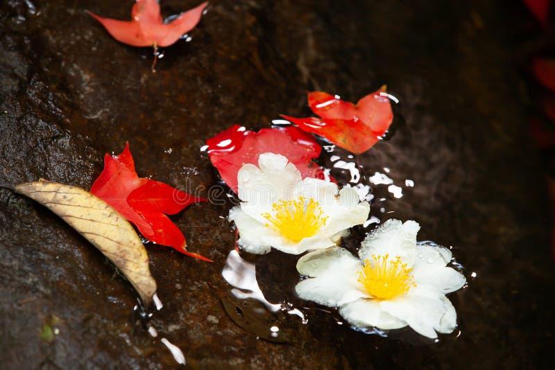 Härliga Fried Egg Tree blommor och röda lönnlöv på en ström royaltyfria foton