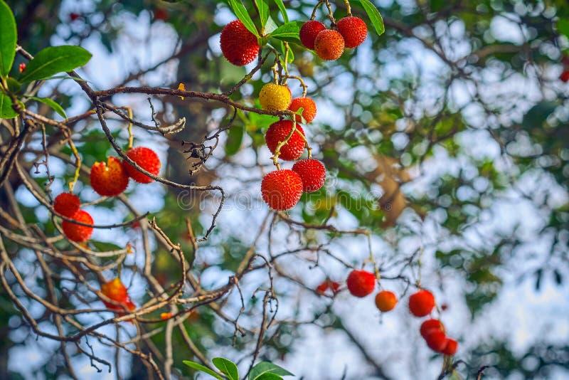 Härliga frukter av jordgubbeträdet eller arbutusunedoträdet, frukterna är gula och röda med grov yttersida royaltyfri bild