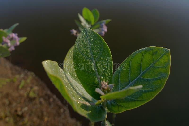 Härliga fuktiga sidor och blommor av för regnvatten för jätte- milkweed nya droppar på dem-Neral maharashtra INDIEN royaltyfria foton