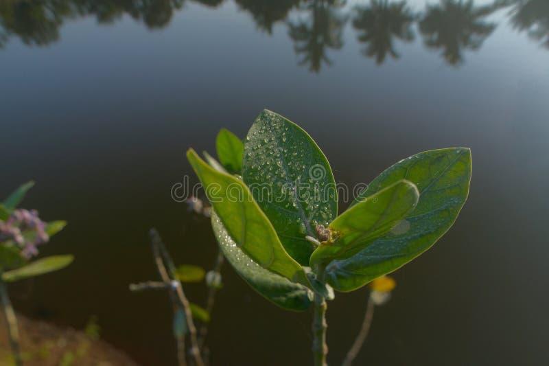 Härliga fuktiga sidor och blommor av för regnvatten för jätte- milkweed nya droppar på dem-Neral maharashtra INDIEN arkivfoto
