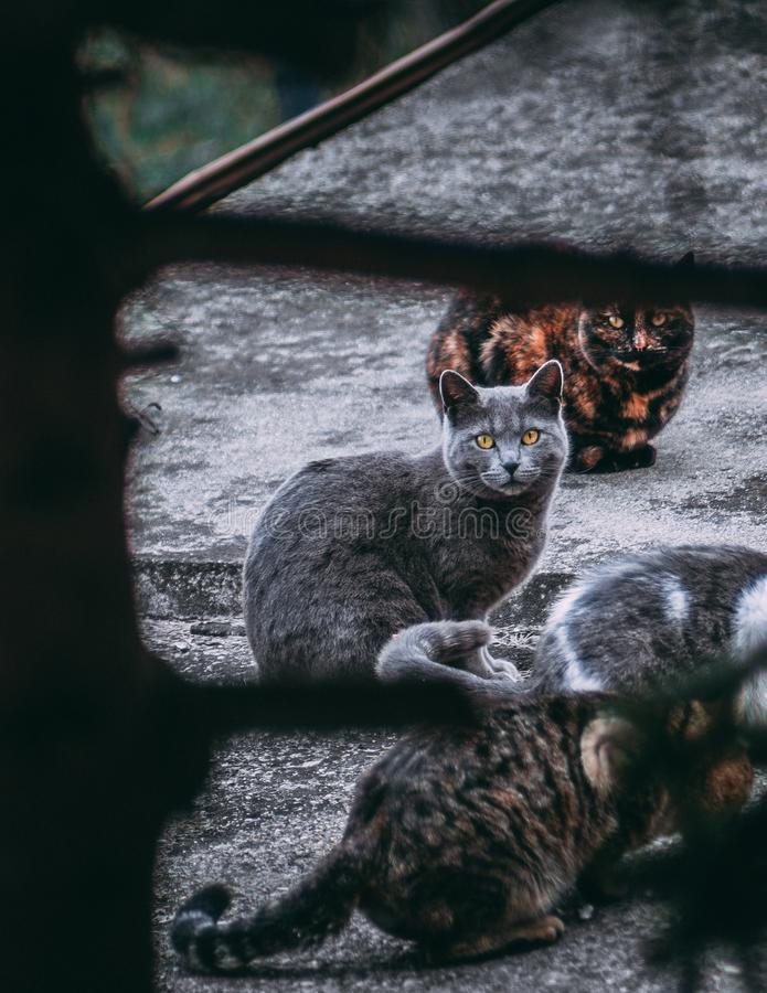 H?rliga fyra katter - bl? katt f?r ryss med h?rliga gula ?gon royaltyfri fotografi