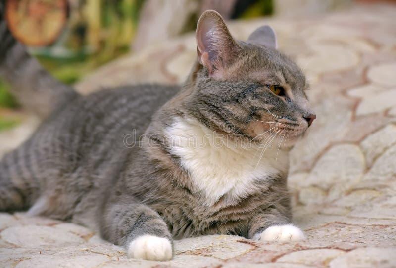Härliga grå färger med den vita stora inhemska katten royaltyfri fotografi