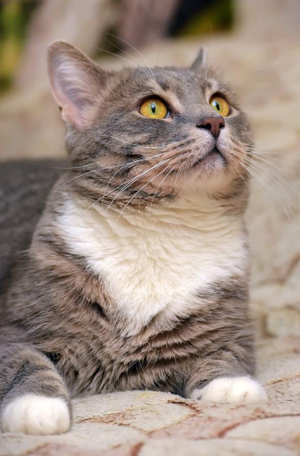 Härliga grå färger med den vita stora inhemska katten arkivbilder
