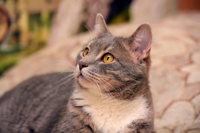 Härliga grå färger med den vita stora inhemska katten royaltyfri foto