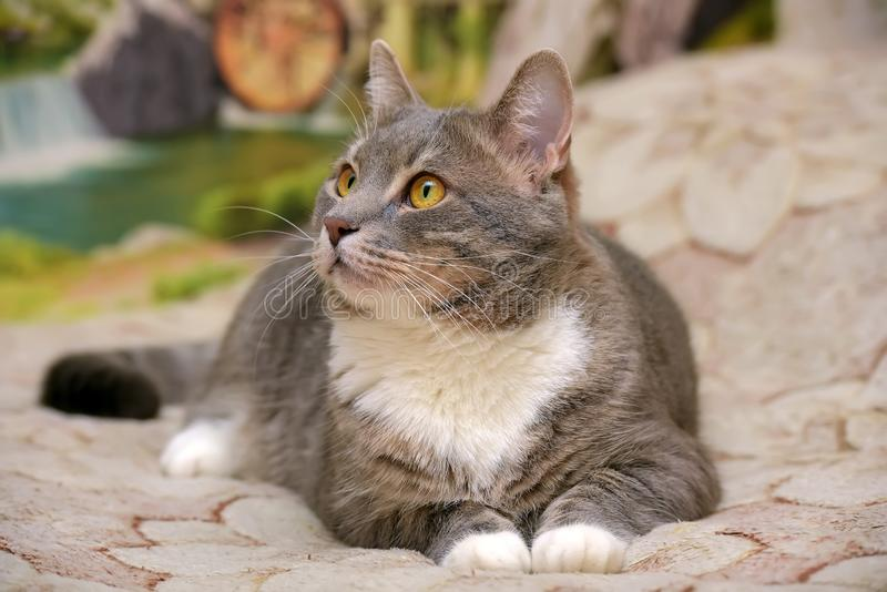 Härliga grå färger med den vita stora inhemska katten arkivbild