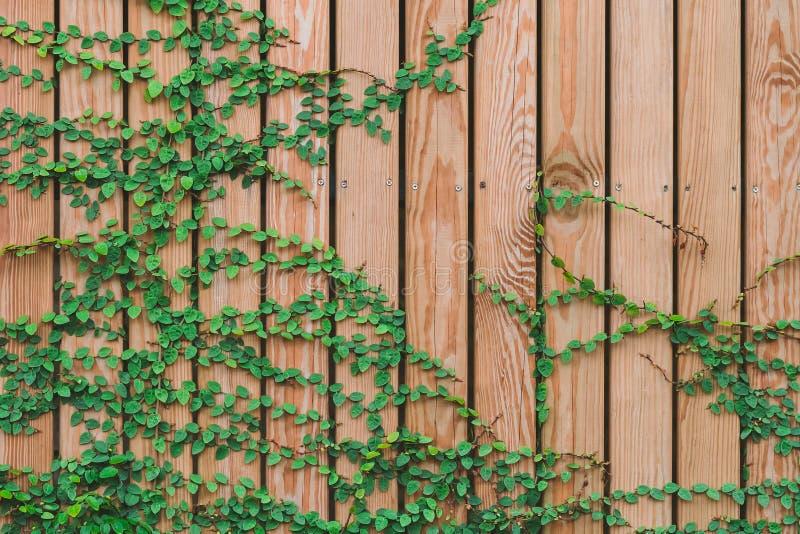 Härliga gröna murgrönasidor som klättrar på träväggen träplankor som täckas av gröna sidor arkivbild