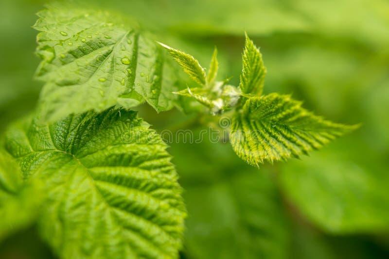 Härliga gröna sidor på hallon i natur arkivfoton