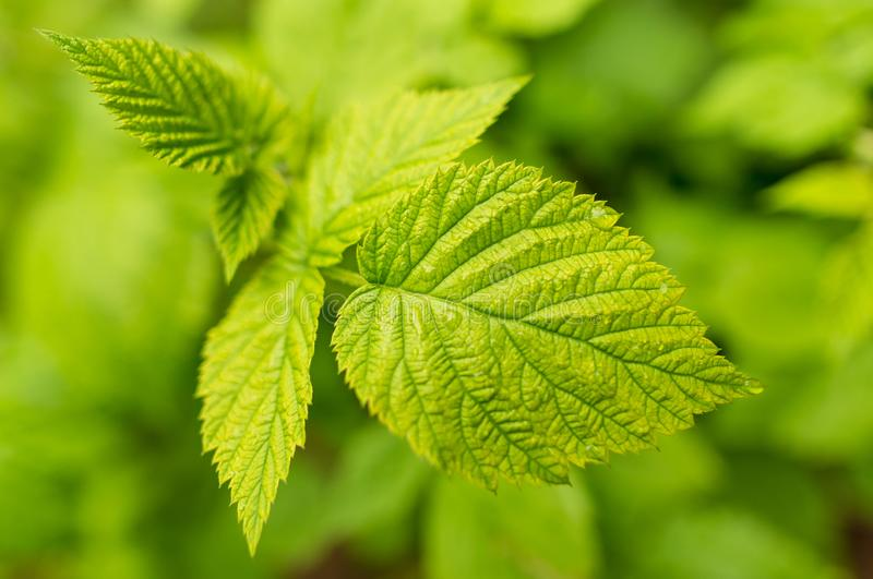 Härliga gröna sidor på hallon i natur arkivfoto
