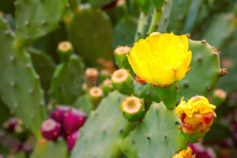 Härliga gula blommor av en taggig kaktus royaltyfri foto