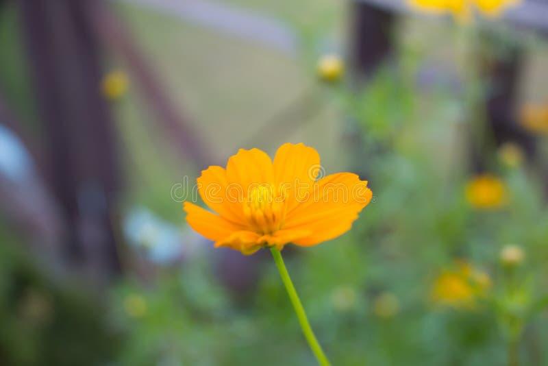 Härliga gula blommor av kosmoset, på den mjuka suddiga bakgrunden royaltyfri foto