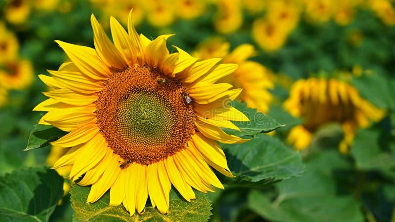 Härliga gula blommor - solros med biet Traditionell färgrik sommarbakgrund Helianthus arkivbild