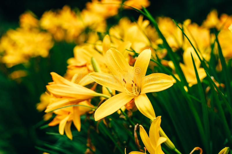 Härliga gula Liliumblommor mot ny grön sidabakgrund arkivfoto