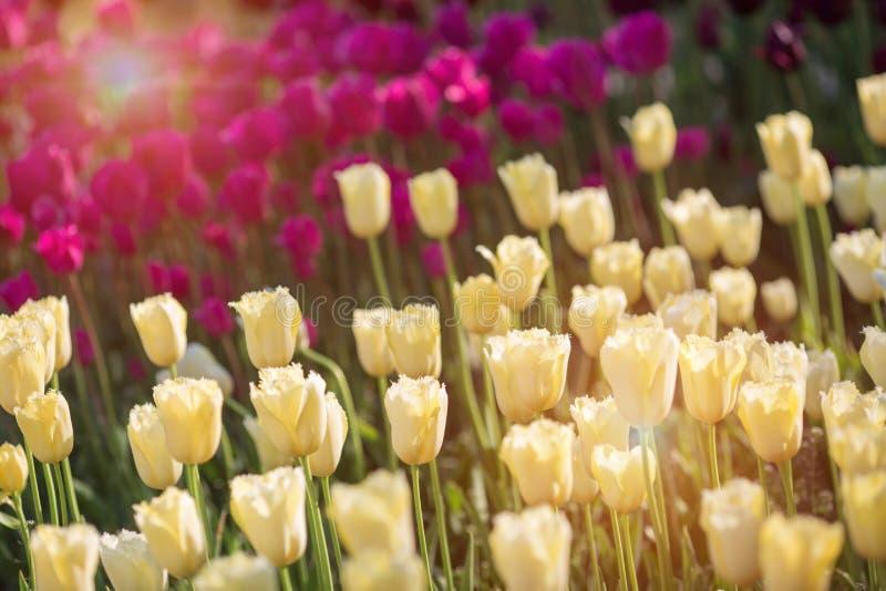 Härliga gula och purpurfärgade tulpan i en blomsterrabatt med solljus royaltyfria foton