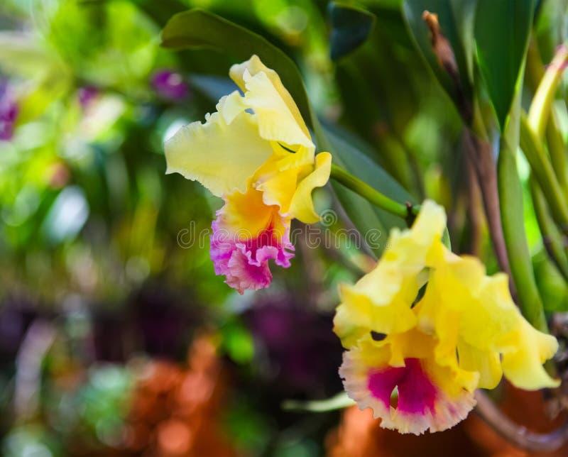 Härliga gula och rosa orkidér royaltyfria foton