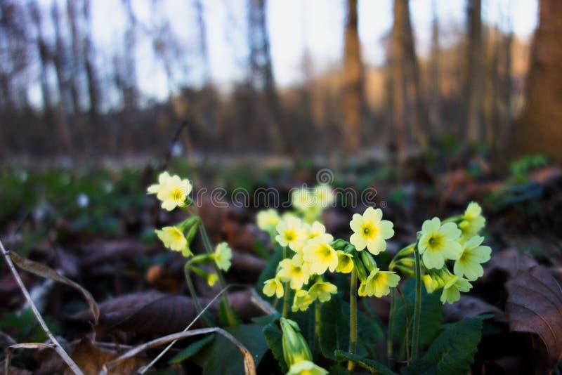 Härliga gula primulablommor som blommar i vårskogen, closeup royaltyfria foton