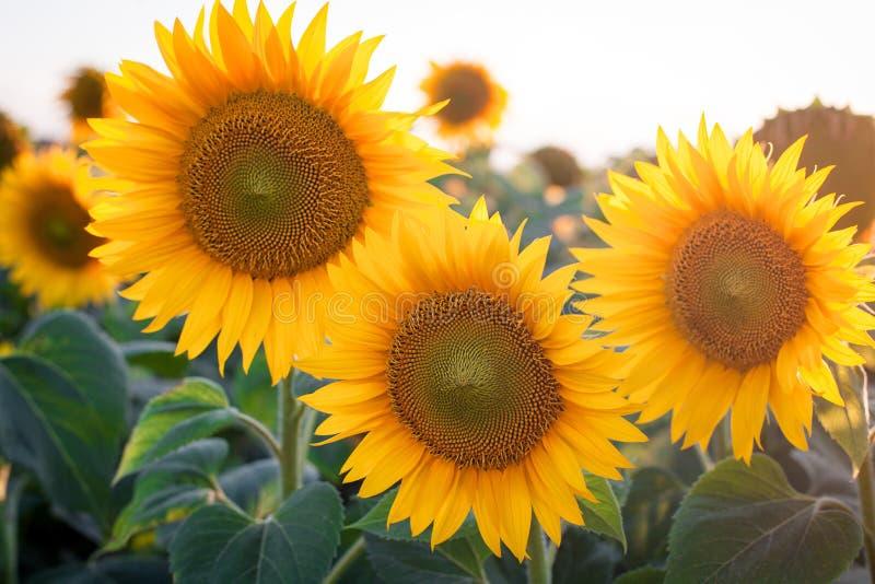 Härliga gula sommarsolrosblommor mot himlen som bedövar landskap fält l solrosor fotografering för bildbyråer
