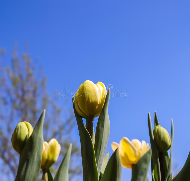 Härliga gula tulpan och knoppar med sidor i vår mot blå himmel royaltyfria bilder