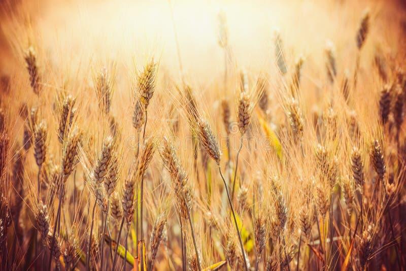 Härliga guld- öron av vete på sädes- fält i solnedgång tänder upp bakgrund, slut Åkerbruk lantgård royaltyfri bild