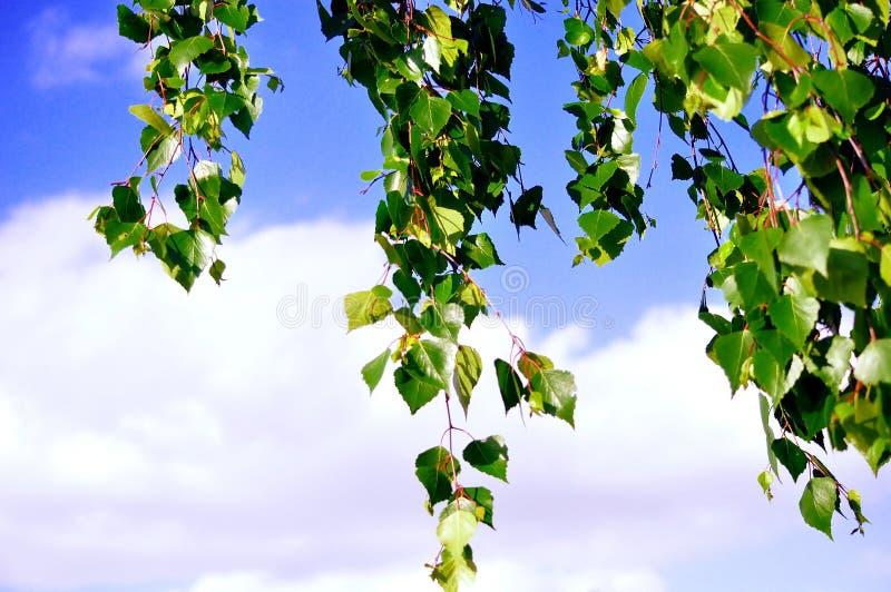 Härliga hängande björkfilialer mot en ren blå himmel royaltyfria bilder