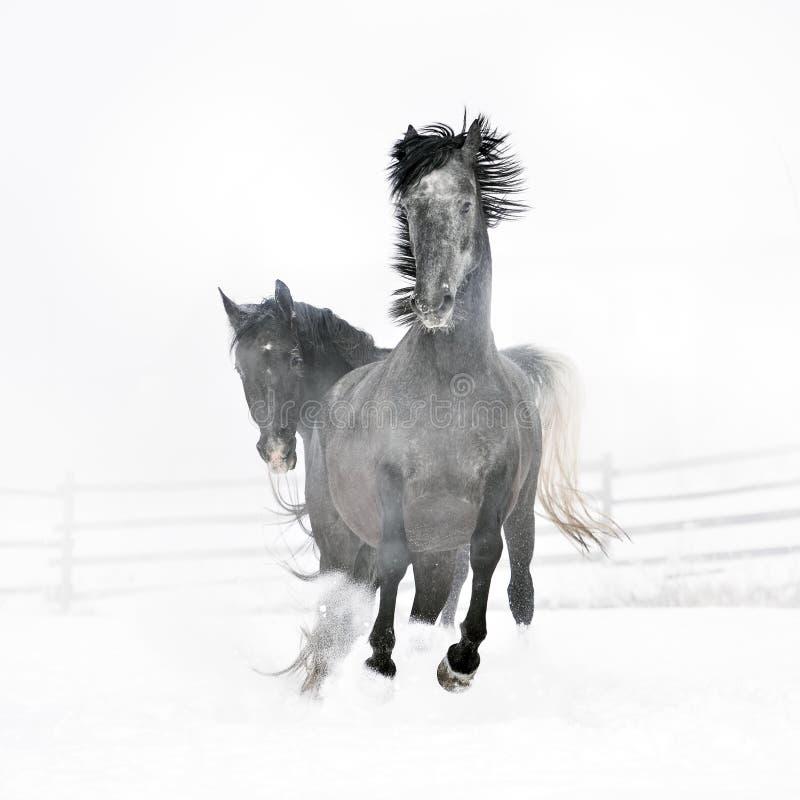 Härliga hästar som kör i vinter arkivfoto