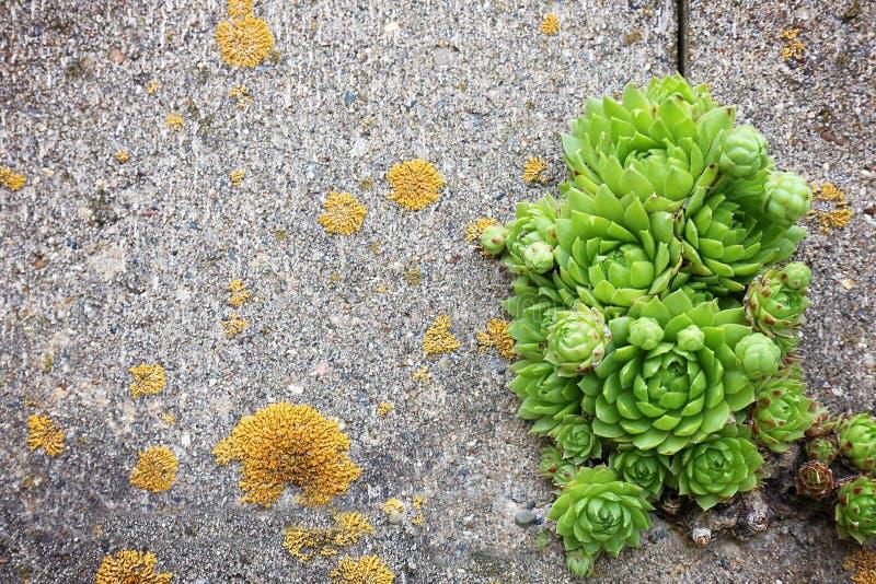 Härliga hönor och fågelungar Houseleeks som växer i sprickor i cement arkivfoton