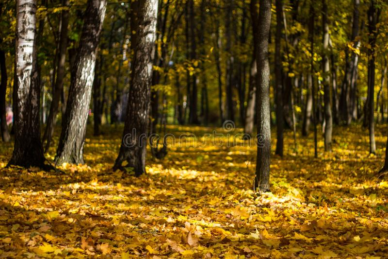 Härliga höstsidor på skoggolvet och gulnade träd i en färgrik dunge Höstlandskapguling-apelsin träd med royaltyfri fotografi