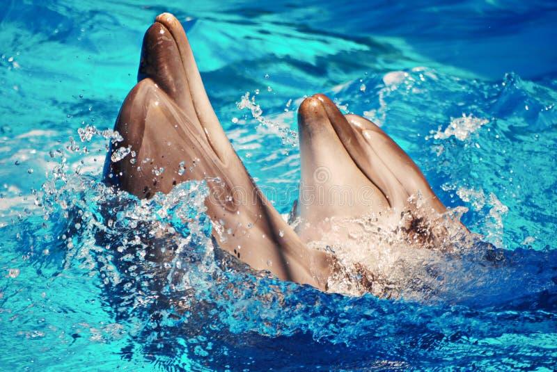 Härliga havsdäggdjurdelfin virvlar runt, i att dansa plaskande vatten royaltyfri bild