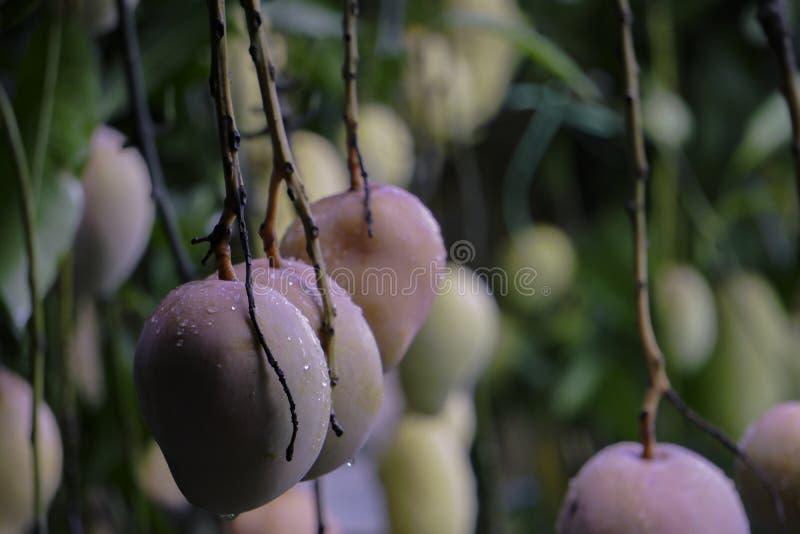 Härliga HD-mangofrukter avbildar på mangoträdgården royaltyfria foton