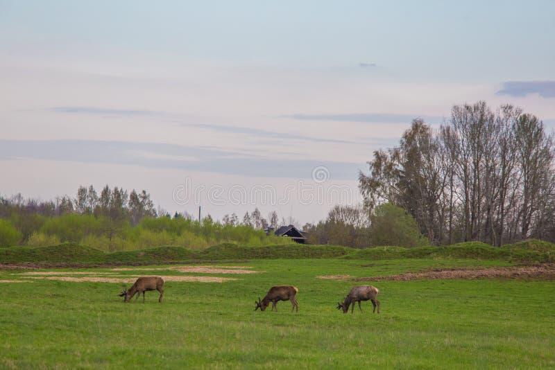 Härliga hjortar flockas beta på våren ängen Dears i fältet arkivfoto