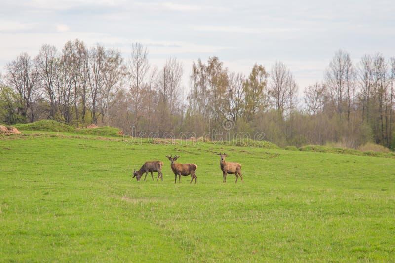 Härliga hjortar flockas beta på våren ängen Dears i fältet royaltyfria foton