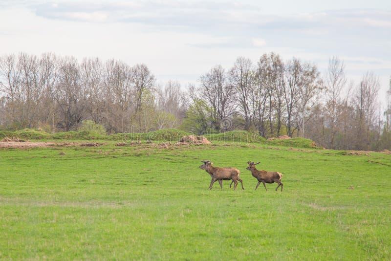 Härliga hjortar flockas beta på våren ängen Dears i fältet fotografering för bildbyråer
