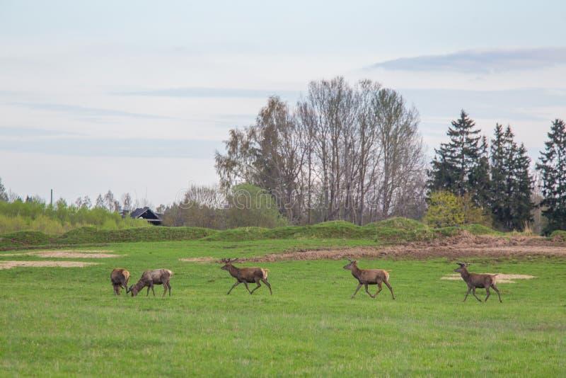 Härliga hjortar flockas beta på våren ängen Dears i fältet royaltyfria bilder