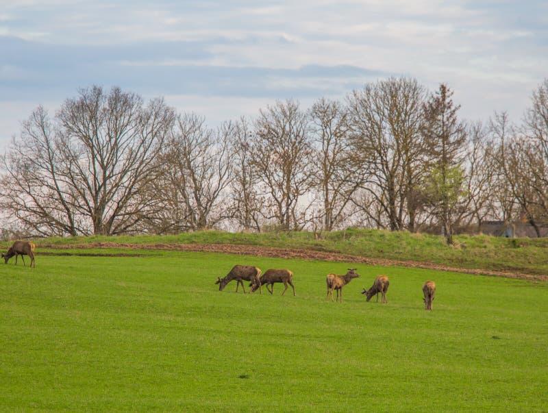 Härliga hjortar flockas beta på våren ängen Dears i fältet arkivbild