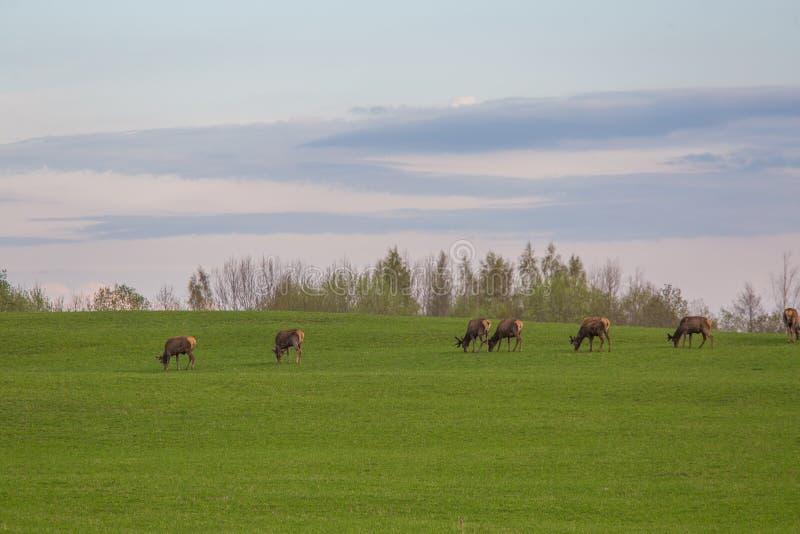 Härliga hjortar flockas beta på våren ängen Dears i fältet royaltyfri fotografi