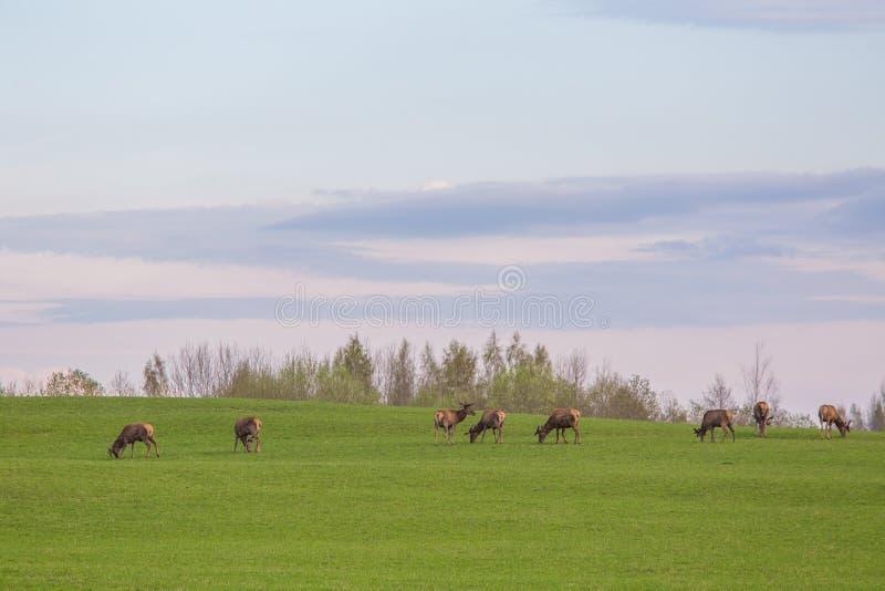 Härliga hjortar flockas beta på våren ängen Dears i fältet arkivfoton