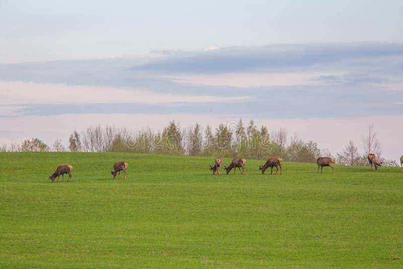 Härliga hjortar flockas beta på våren ängen Dears i fältet arkivbilder