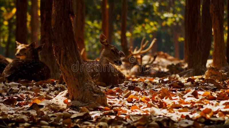 Härliga hjortar, willdlifefotografi, hjort i skog royaltyfri bild