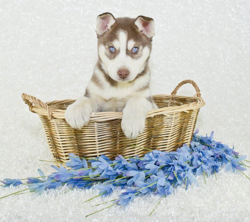 Härliga Husky Puppy arkivfoton