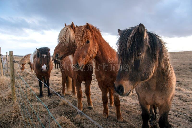 Härliga icelandic hästar i Island royaltyfri foto