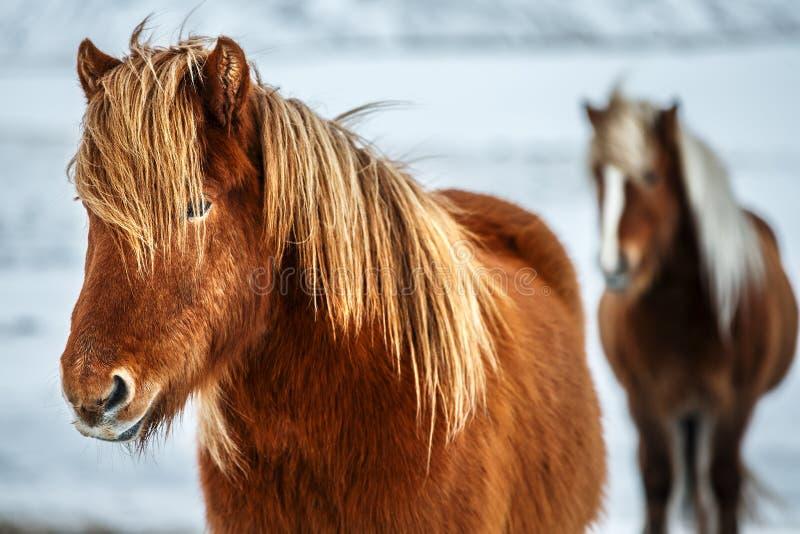 Härliga isländska hästar arkivbild