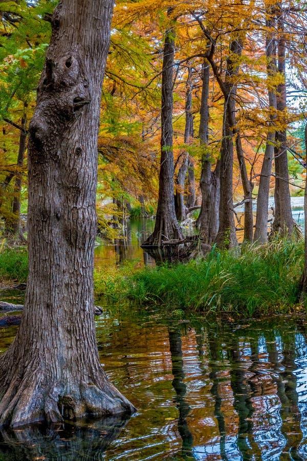 Härliga jätte- cypressträd som täckas med nedgånglövverk i Texas fotografering för bildbyråer