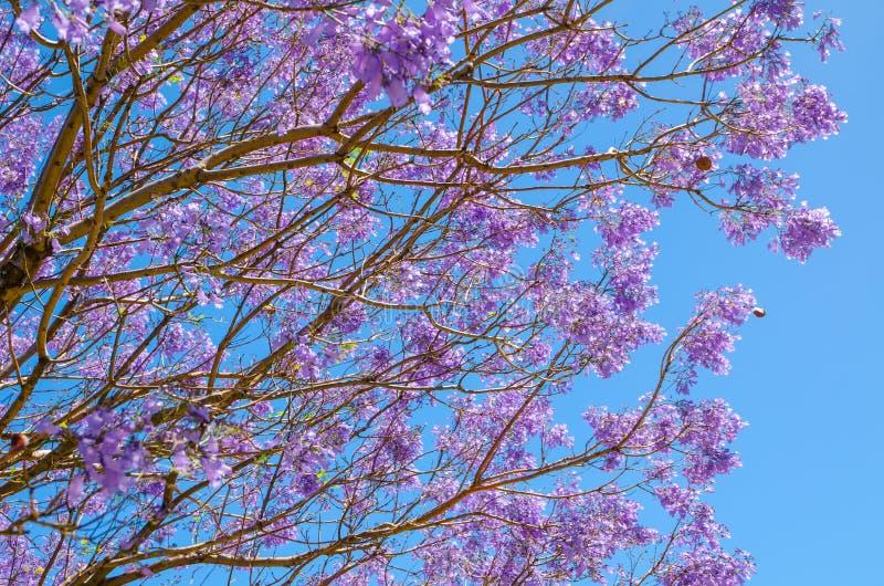 Härliga jakarandalilor blommar att blomma med blå himmel i bakgrunden arkivfoto