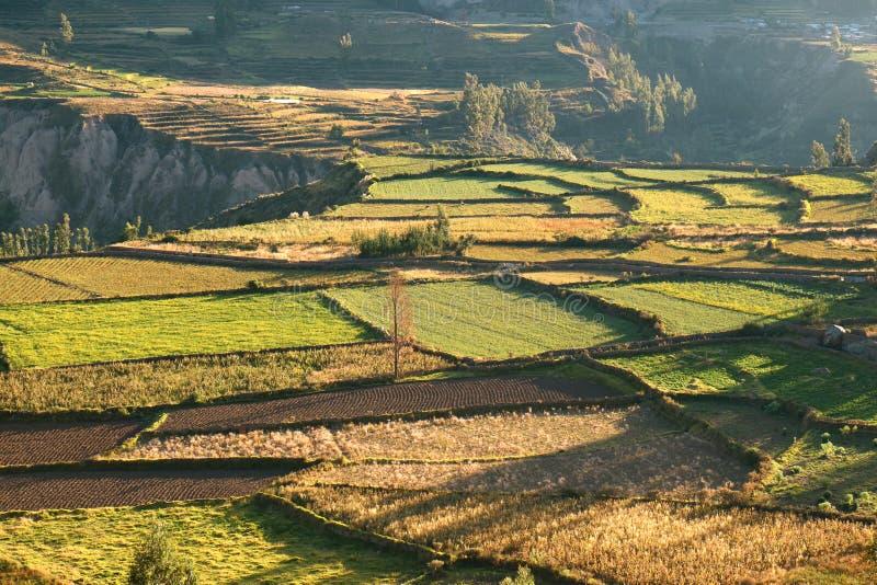 Härliga jordbruks- fält i morgonsolljuset, den Colca kanjonen eller Vallen del Colca i den Arequipa regionen av Peru arkivbilder