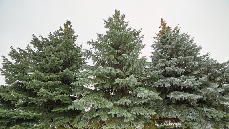 Härliga julgranar i snön Vinter frost arkivbild