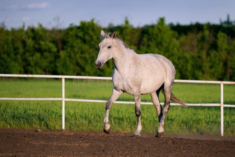Härliga körningar för vit häst traver i paddocken royaltyfri foto