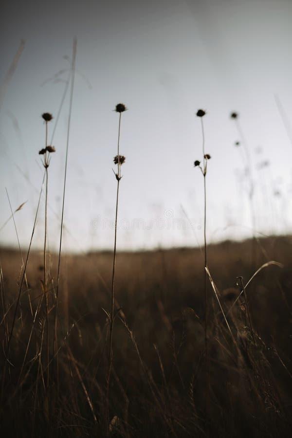 Härliga knautiaarvensisvildblommor i solig äng på solnedgånghimmel i berg Samla blommor och örter, lantligt enkelt liv arkivfoto