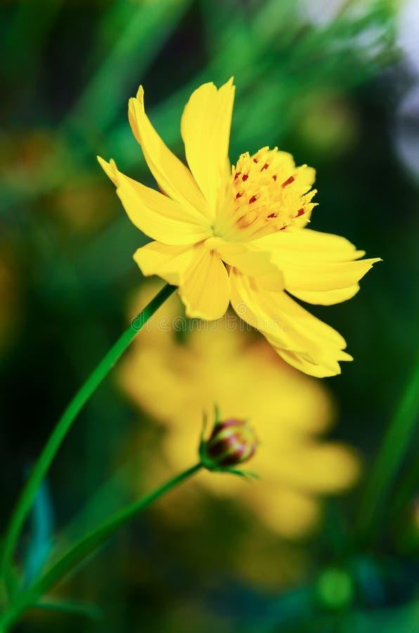 härliga kosmos blommar yellow arkivbild