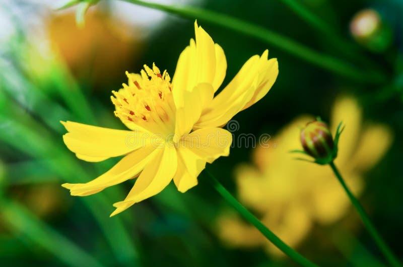 härliga kosmos blommar yellow royaltyfri bild