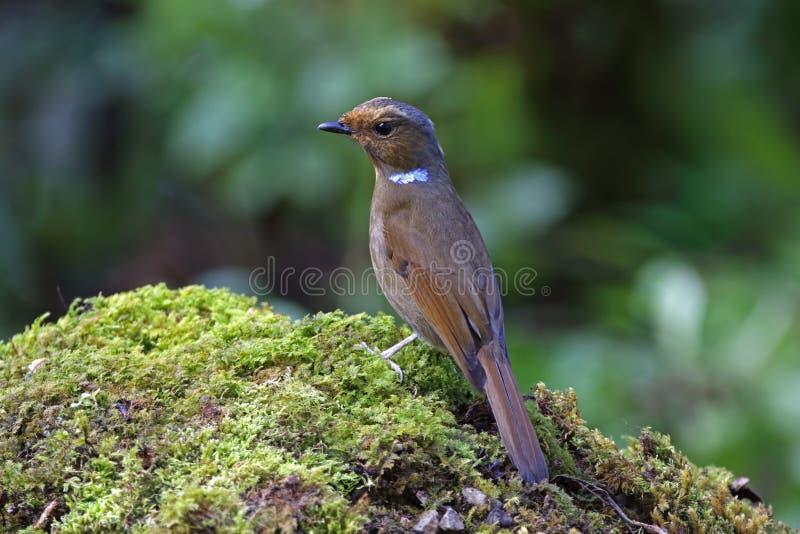 Härliga kvinnliga fåglar för stora Niltava Niltava grandis av Thailand arkivfoto